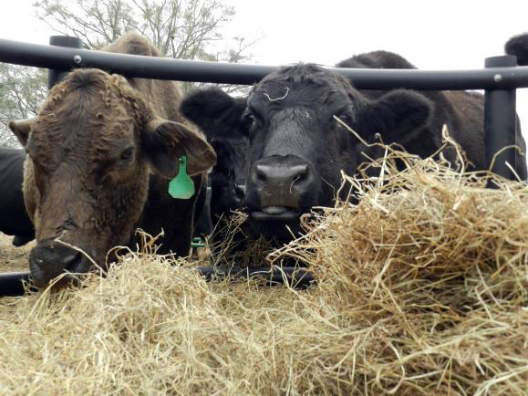 Giving rumen microbes the nutrients they need to digest low quality forages will increase the overall feed value of those forages and aid in improving feed efficiency.
