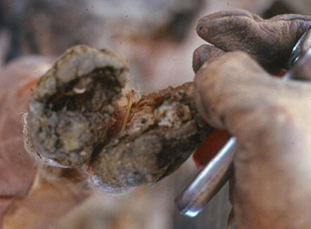 Severe foot rot negatively affects many production parameters