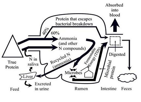 A diagram of protein metabolism and nitrogen recycling in the ruminant.